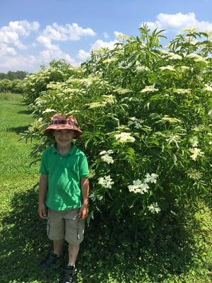 Feel Good Syrup Elderberry crop in Montreal Canada