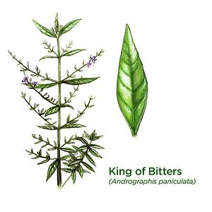 Andrographis paniculata King of Bitters