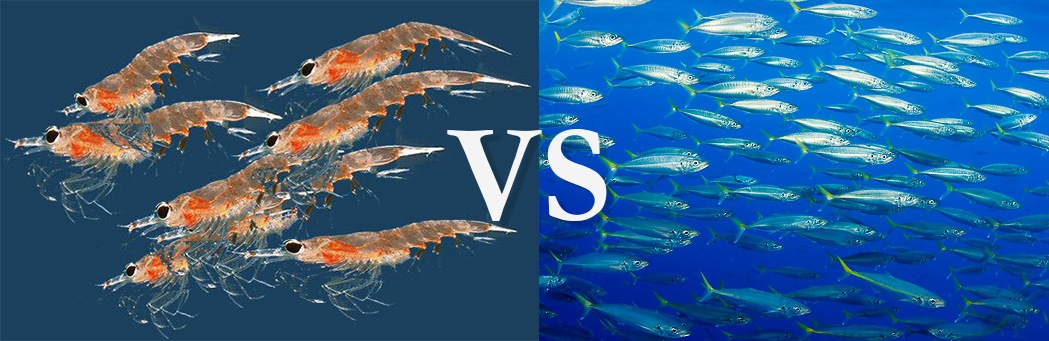 The Great Debate: Is Krill Oil Better Than Omega-3 Fish Oil