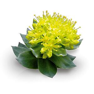 How Rhodiola rosea helps reduce stress & anxiety