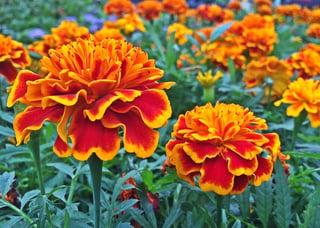 lutein marigold extract