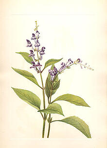 Skullcap herbal supplements for stress and anxiety